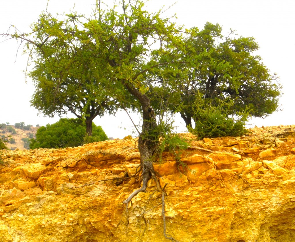 Endangered Argan tree with exposed roots in Morocco